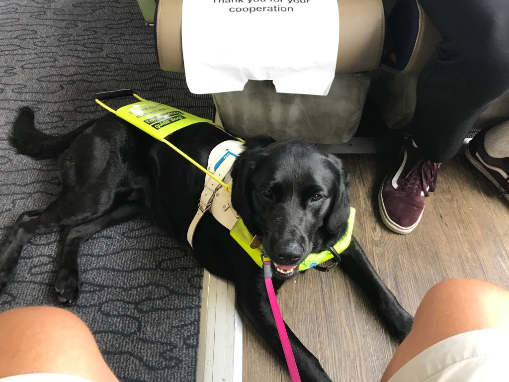 Teal the guide dog sat in her harness shading from the sun
